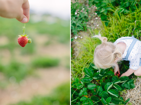 Sammy-Strawberry-Picking-Ipswich-MA-5